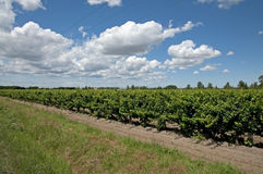 Vineyard - Vin de sable, Camargue Royalty Free Stock Photography