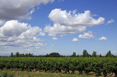 Vineyard - Vin de sable, Camargue Stock Photos