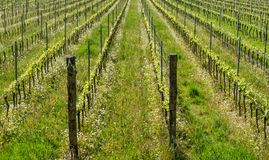 Vineyard in the vine growing region of Trentino Alto Adige, northern Italy. Vineyard in springtime. The Guyot method of vine training royalty free stock photography