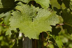 Vineyard - Vine leaves Stock Photography