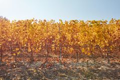 Vineyard, vine row in autumn with yellow leaves in a sunny day Royalty Free Stock Photography