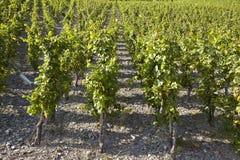 Vineyard - vine stocks Royalty Free Stock Photo