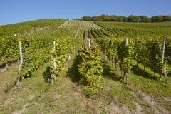 Vineyard - vine stocks Royalty Free Stock Images