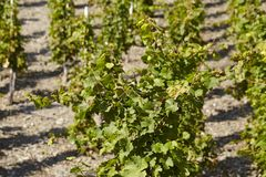 Vineyard - vine stocks Royalty Free Stock Photos