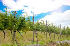 Vineyard and vines in the early summer, royal vineyard. stock image