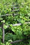 Vineyard Vines Stock Photos