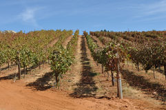 Vineyard with Vines in a Row Royalty Free Stock Image
