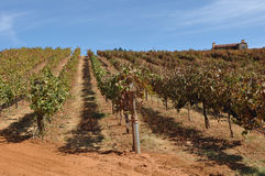 Vineyard with Vines in a Row Stock Images