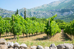 Vineyard with vines in rows and tall mountains in the background Stock Photo