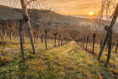 Vineyard and vines in the sunrise Stock Photo