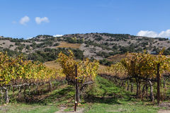 Vineyard vines and wines. Colorful landscapes of vines during autumn month in the wine county, Napa California Stock Images
