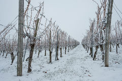 Vineyard with vines in winter stock image
