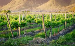Vineyard. At the beginning of spring in the afternoon royalty free stock photography