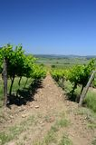 Vineyard. S of Tihany peninsula, Hungary Royalty Free Stock Images