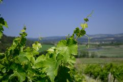 Vineyard. S of Tihany peninsula, Hungary, near lake Balaton Royalty Free Stock Photography