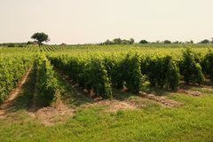 Vineyard. Vineyrd in daylight. Beautiful colours in June stock images