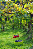 Vineyard - Vintage time Royalty Free Stock Photos