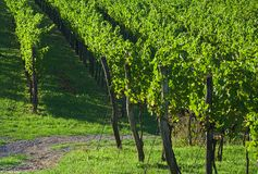 Vineyard. Before vintage in the Vipava valley, Slovenia Stock Images