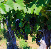 Vineyard in Virginia with grapes and mountain scene Stock Images