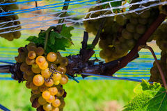 Vineyard in Virginia with grapes and mountain scene Stock Photos