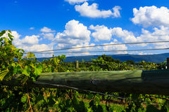 Vineyard in Virginia with grapes and mountain scene Royalty Free Stock Images
