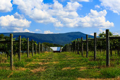 Vineyard in Virginia with grapes and mountain scene Royalty Free Stock Photography