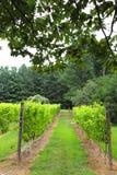 Vineyard Vista on a Summer Day, Healthy Vines stock image