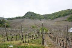 Vineyard in the Vulkan Eifel. Wich is a region in the Eifel Mountains in Germany Royalty Free Stock Photos
