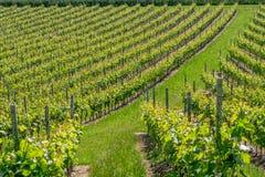 Swiss vineyard in Vullierens stock photos