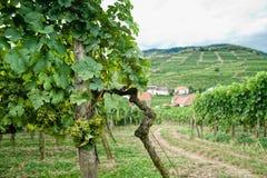 Vineyard in Wachau Stock Photos