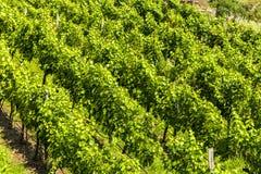 Vineyard in the Wachau, Austria. Grapes in vineyard in the Wachau, Austria. Europe royalty free stock photos