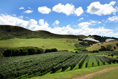 Vineyard on Waiheke Island Royalty Free Stock Photo