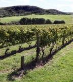 Vineyard Waiheke Island New Zealand Stock Photo