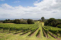 Vineyard on Waiheke island Stock Photography