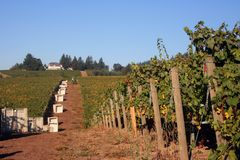 Vineyard Waiting for the Harvest royalty free stock photography