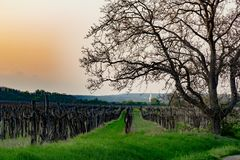 Vineyard with walnut tree at sunset stock photos