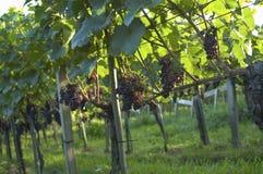 Vineyard Weil am Rhein Germany Stock Image