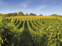 Vineyard Weil am Rhein Germany Stock Photos