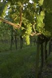 Vineyard Weil am Rhein Germany at Sunset Royalty Free Stock Photos