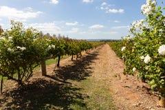 Vineyard in western australia Stock Images