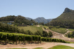 Vineyard in the Western Cape South Africa. Constantia Valley vines in the Western Cape South Africa stock photo