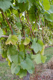 Vineyard White Wine Grapes Royalty Free Stock Image