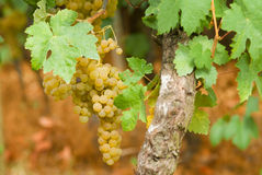 Vineyard of white wine in Spain royalty free stock photos