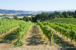 Vineyard in the Willamette Valley Royalty Free Stock Photography