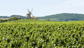 Vineyard, with windmill from Beaujolais. Stock Photography