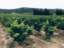Vineyard. On a wine domain in the Provence region of France Royalty Free Stock Photo