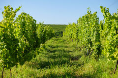 Vineyard in wine making regions of central Europe Stock Photos