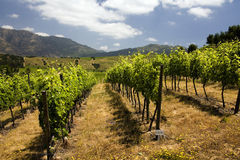 Vineyard - Wine Production - Chile Royalty Free Stock Images