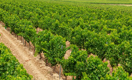 Vineyard in the wine region Royalty Free Stock Images