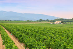 Vineyard in the wine region Royalty Free Stock Photography